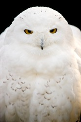 White owl portrait