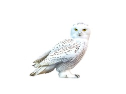 white owl, snow-white bird sits, isolate, predator, yellow eyes