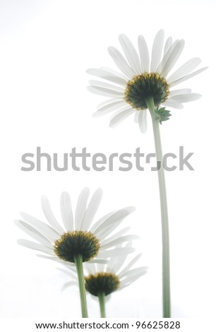 White ox-eye daisies isolated on white background.