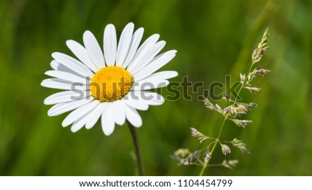 White ox-eye daisy and grass spikelet in spring meadow. Leucanthemum vulgare. Beautiful close-up the sunlit flower head of marguerite on blurred green background. Stock foto ©