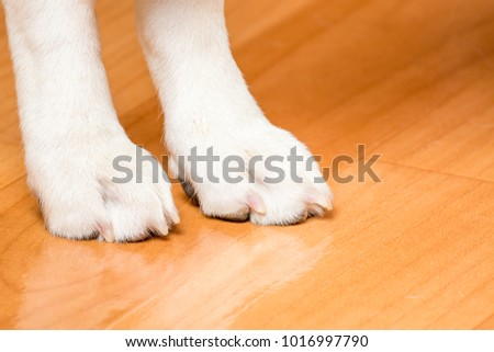 White paws of a small hunting dog. - Shutterstock ID 1016997790