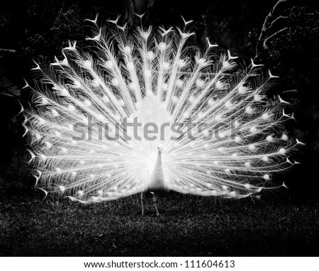 white peacock shows its tail black and white