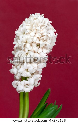 white pearl hyacinth in the vase