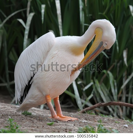 White pelican cleaning his feathers with its beak