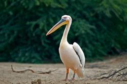 White Pelican in Al Areen wild life park, Bahrain