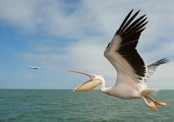 White pelican in flight, catching the fish, Namibia, Africa