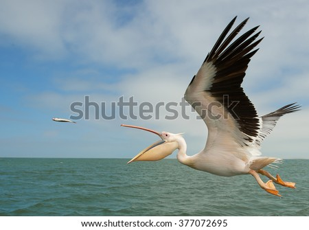 White pelican in flight, catching the fish, Namibia, Africa #377072695