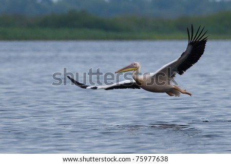White Pelican In flight over water