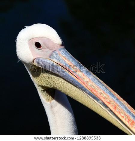 white pelican portrait #1288895533