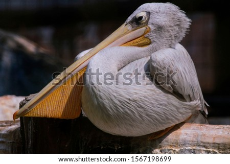 white Pelicans are water birds that have sacs under their beaks, and are part of the Pelecanidae family of birds. They form the order Pelecaniformes. #1567198699