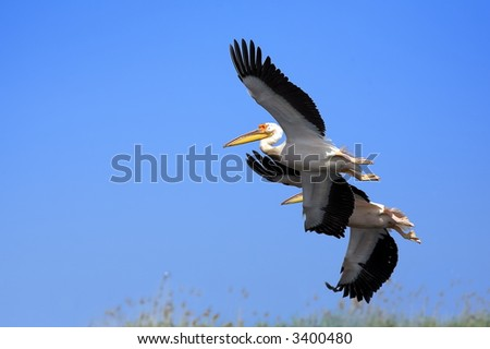 white pelicans flying in the blue sky (pelecanus onocrotalus)