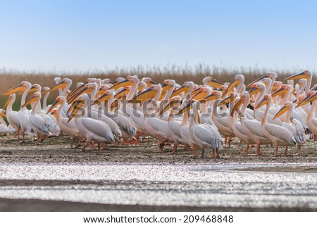 white pelicans (pelecanus onocrotalus) in the Danube Delta, Romania