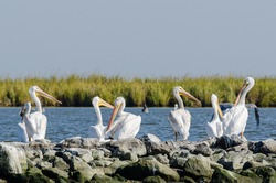 White pelicans sitting atop rip rap on Pelican Island in Barataria Bay and the Gulf of Mexico, Louisiana