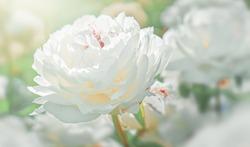 White peonies flower bloom on background of blurry white peonies in peonies garden.