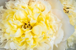 White peony flower closeup. Selective focus background. Floral theme