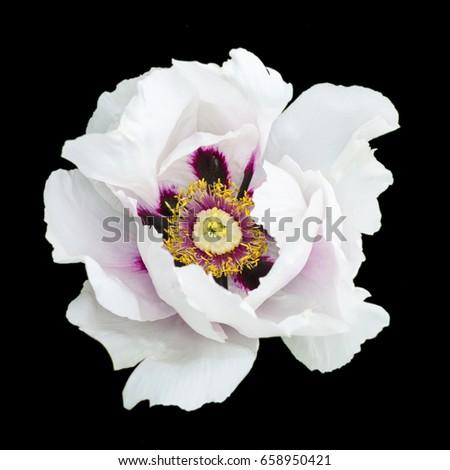 White peony flower macro photography isolated on black