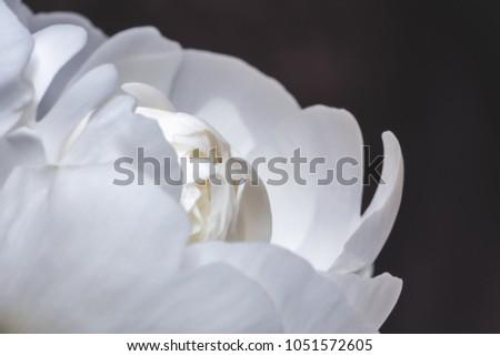 White peony flower on dark background. Macro photo with shallow depth of field. #1051572605