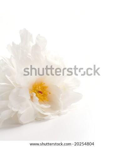 white peony on white background