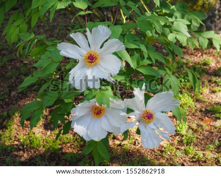 White Peony Phoenix flowers, close up. Paeonia x Suffruticosa or Paeonia ostii Feng Dan Bai, gorgeous shrub with pure white, large blossoms. Beautiful, hardy plant in the peony family, Paeoniaceae. #1552862918