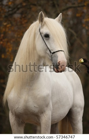 White percheron horse