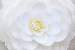 White perfect camellia flower, close up macro. White camellia full bloom