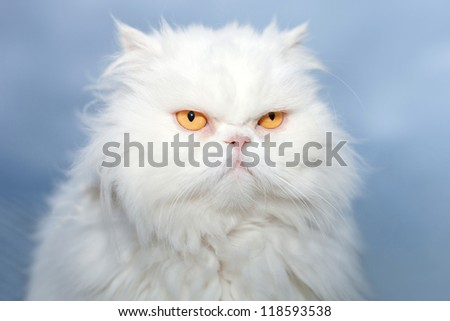 White Persian cat - stock photo