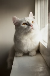 White Persian cat on the window sill