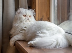 White Persian cat with long hair. Exotic