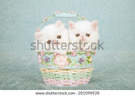 White Persian kitten and Exotic kitten sitting inside small round blue and pink basket decorated with tiny silk flowers on mint green background