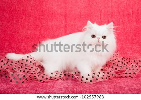 White Persian kitten with black polka dot pink ribbon on cerise pink background