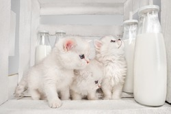 White Persian pussy cats with milk on white wooden  background
