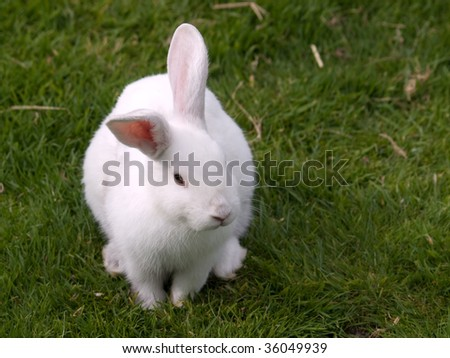 White pet rabbit standing on some green grass