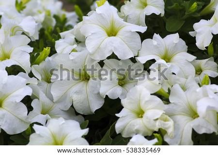 White Petunia Flowers Ez Canvas