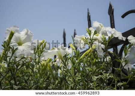 White petunias #459962893
