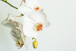 White phalaenopsis orchid flower Phalaenopsis, known as Moth Orchid or Phal. Flower on white background. Selective soft focus. Lovely idea for any design. Calmness and relaxation. Love and pleasure.