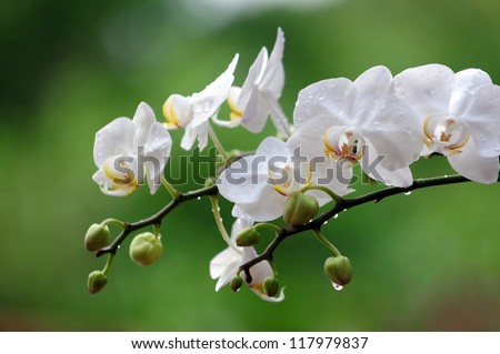 White Phalaenopsis orchid from Thailand orchids grow well in a long time in Thailand #117979837