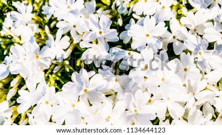 White Phlox flowers. Ericales Polemoniaceae. Spring background