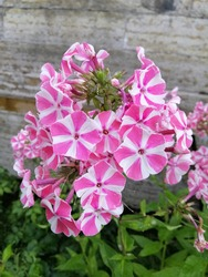 white Phlox paniculata Peppermint Twist with bright pink stripes in the center. Flower of unusual coloring .