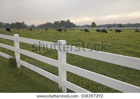 White picket fence and grazing cattle in green grass outside of Jamestown Settlement, Virginia - stock photo