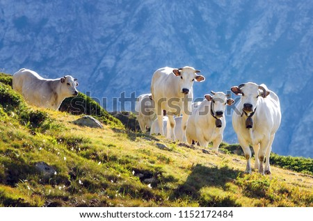 White piedmontese breed cows in the meadows of a mountain pasture on the Maritime Alps (Piedmont, Italy) #1152172484