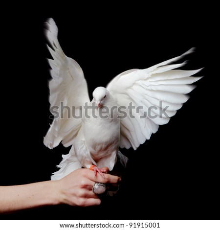 White Pigeon and Female Hand on Black Background