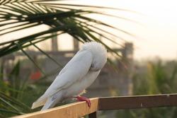 White pigeon bird standing.Portrait of bird, Closeup