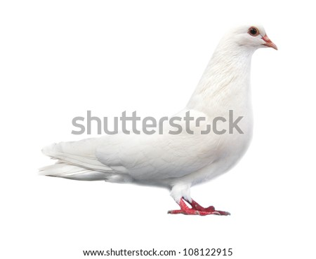 white pigeon dove sits isolated on a white background