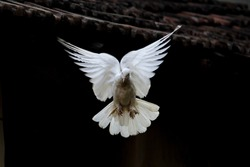 White Pigeon Flying As Angel