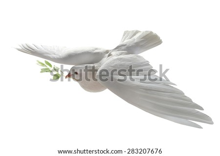 white pigeon in flight on a white background with an olive branch #283207676