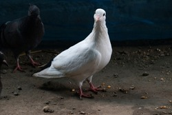 White Pigeon looking on Camera with a gray Dove.homing pigeon with spread wings.Birds,rooks,Dove,pigeon bird.