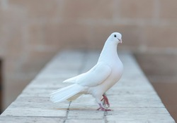 white pigeon on wall old stone. white dove. The symbol of freedom.