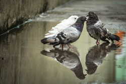 White pigeon & pigeon gray bathing on the street rain water with reflection on clear water . Columbidae is a bird family consisting of pigeons and doves.White Dove reflection & bathing on water.