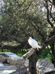 White pigeon sitting on a branch of olive tree.