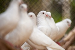 White pigeons in captive breeding cage.